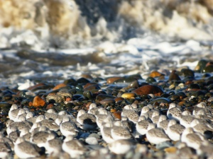 Sanderlings at Cleveleys